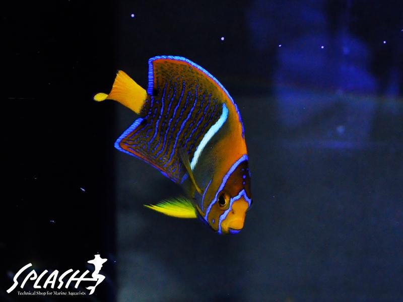 状態最高!高品質な珊瑚、海水魚、ライブロック本店在庫情報!!
