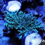 ブリードミドリイシ、ホワイトマクロス、状態最高な珊瑚、海水魚が多数在庫中!