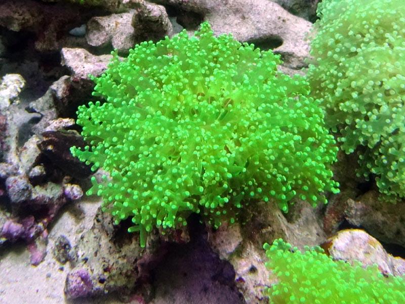 タコアシサンゴクリアグリーン