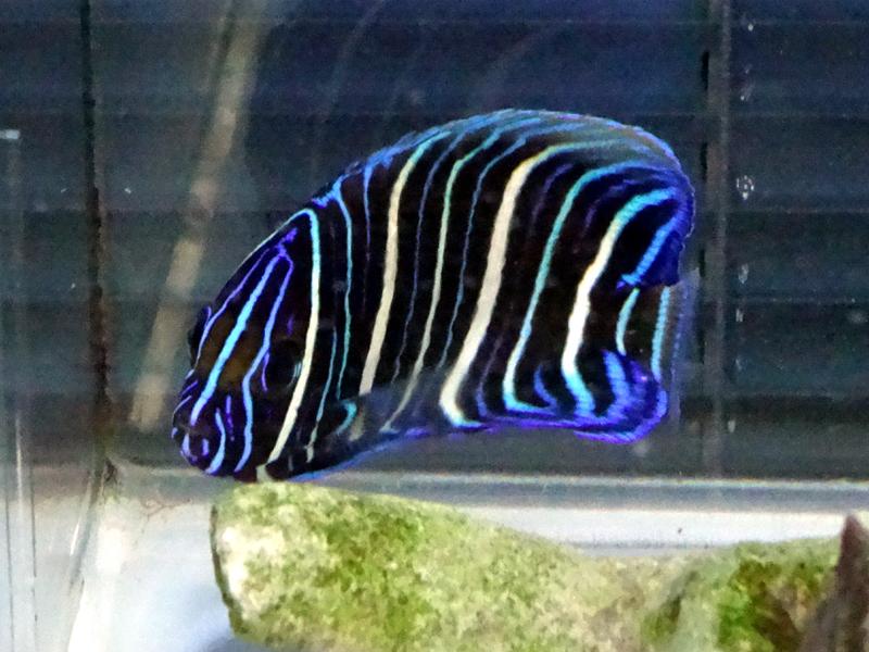 ブルーフェイスエンゼル幼魚
