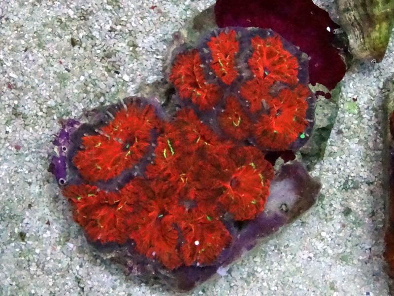 オオタバサンゴ