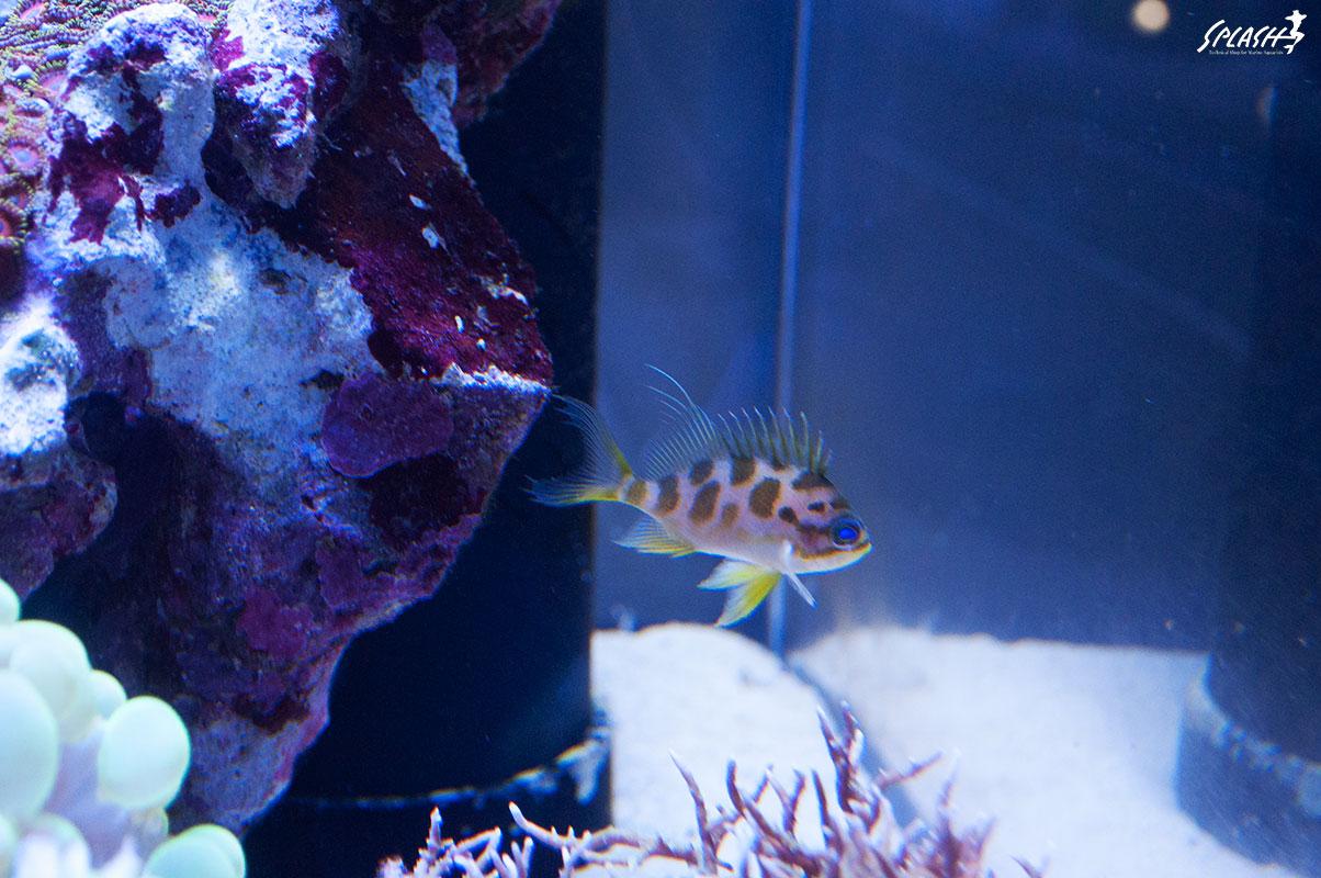 極上インドネシア便珊瑚、マニラ産ベントラ、レンテンヤッコなどなど大量入荷中!