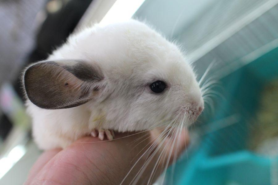 チンチラ ホワイト♀1号