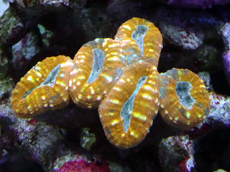 マルハナガタサンゴ
