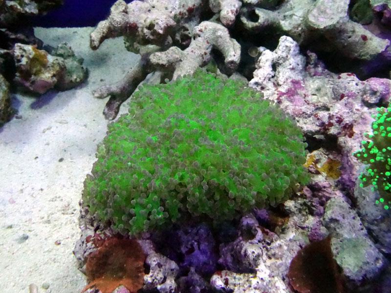 タコアシサンゴクリアーグリーン(10㎝)