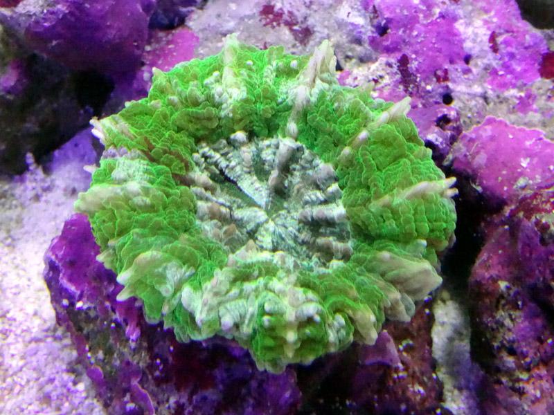 アザミハナガタサンゴ