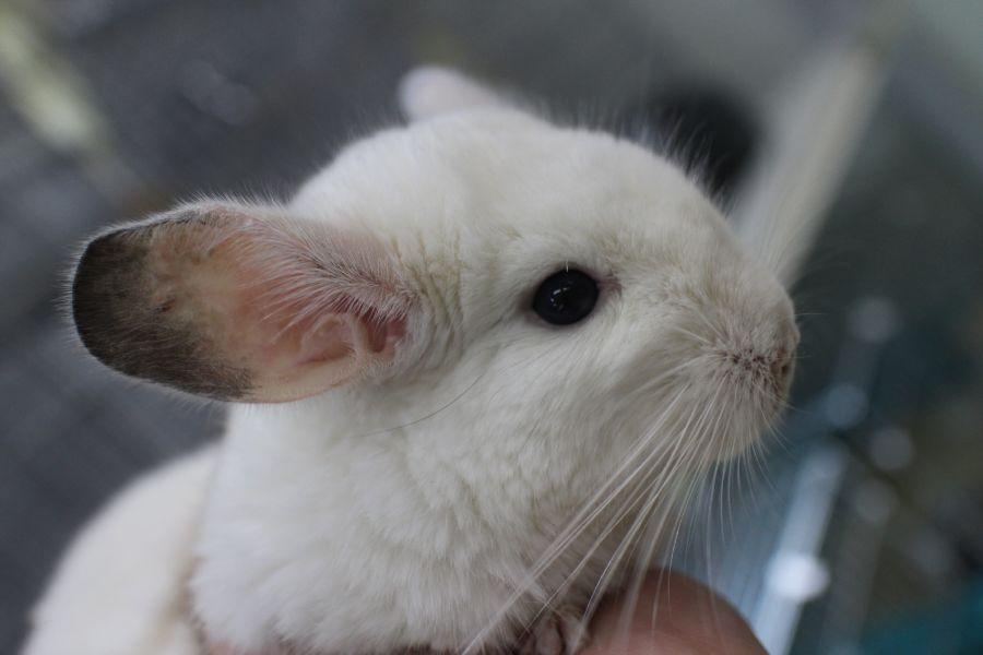 チンチラ ホワイト♂