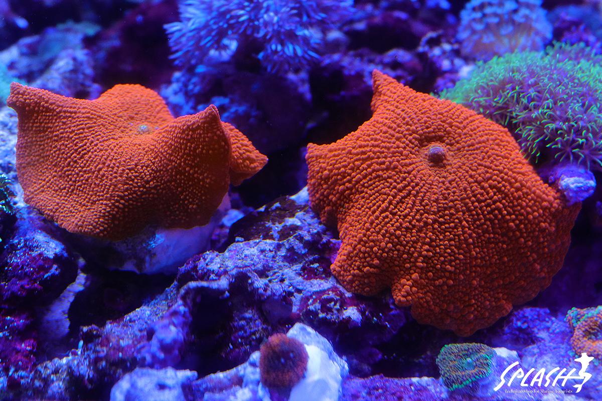 スプラッシュの珊瑚は徹底した品質管理で状態抜群