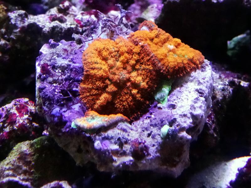 ディスクコーラルオレンジ(6cm)