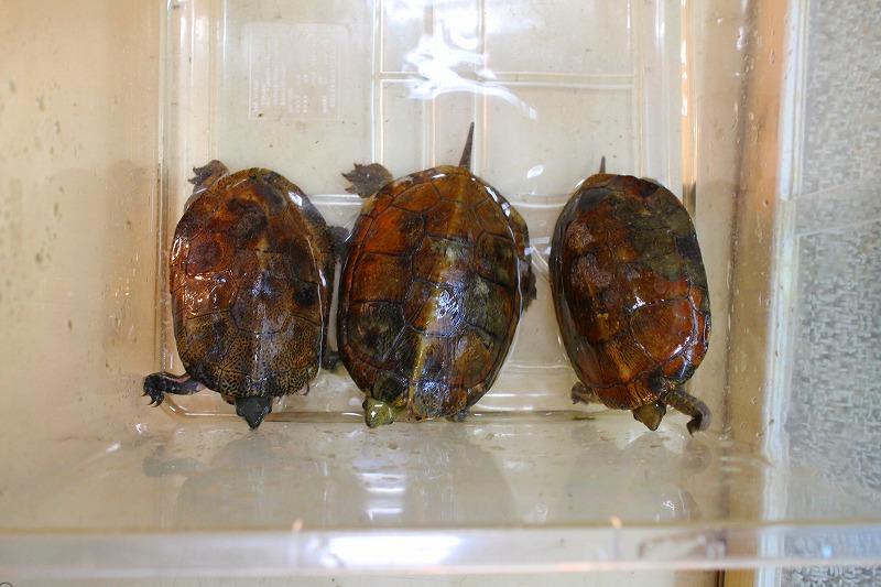 ジャノメイシガメ♂1♀2 産卵経験有