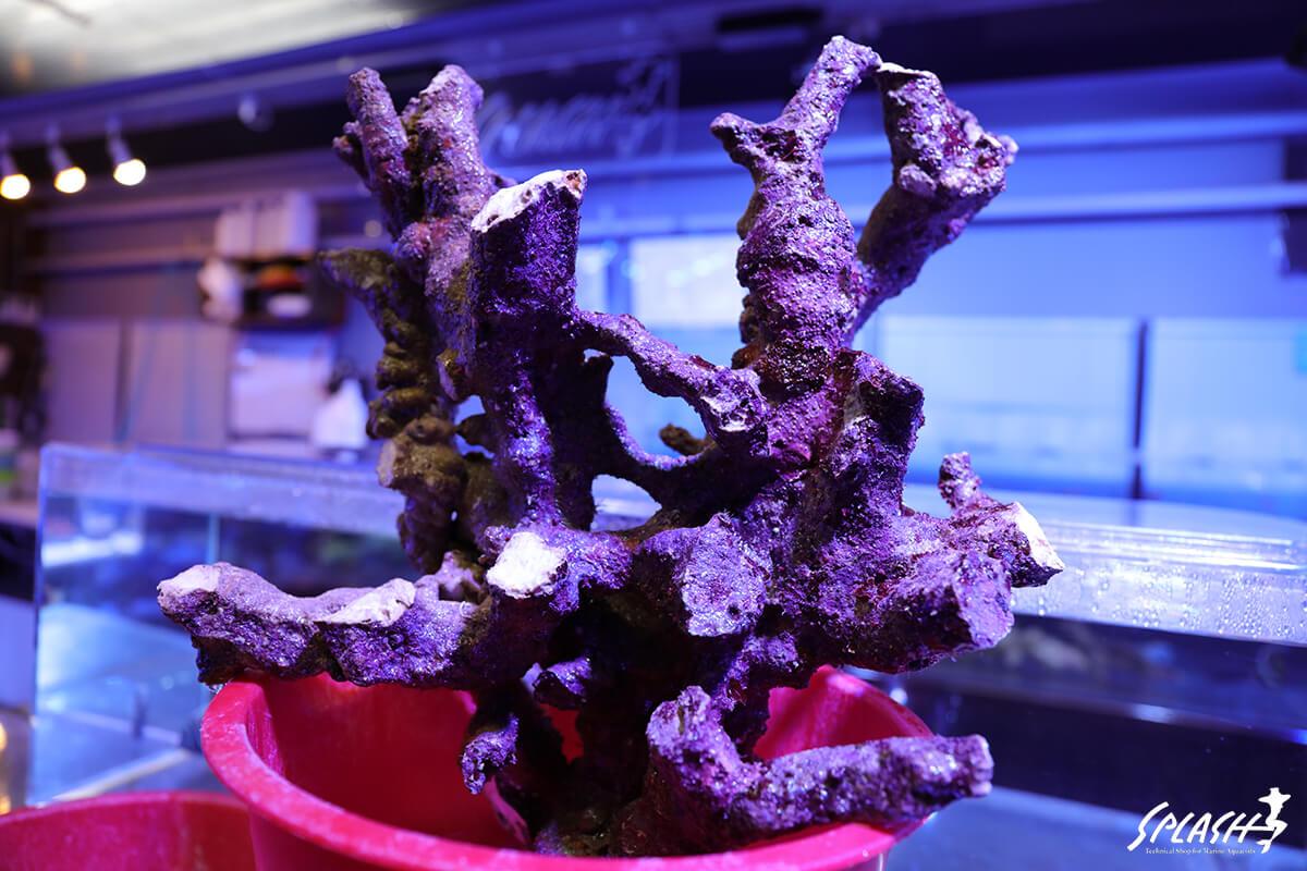 4キロ(4.21キロ)以上の枝状ライブロック