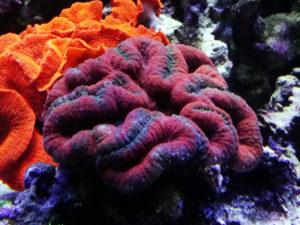 オオハナガタサンゴ