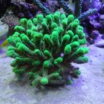 フトトゲサンゴ